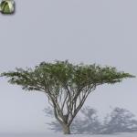 Acacia a ombrello